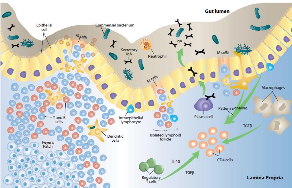 gut associated lymphatic tissue